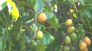 Caj-mirim - Frutas na UFES 1