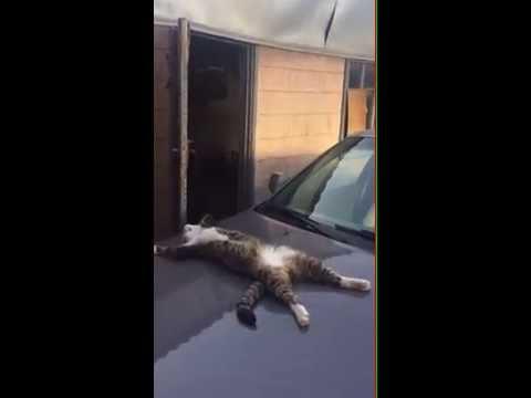 車のボンネットでバタンキューと眠る猫がFUNNY♪