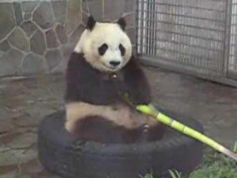 王子動物園 パンダのタンタン01