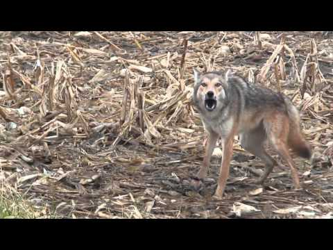 Coyote Trapping - Making Sense of it All DVD