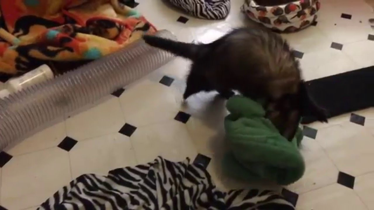 [Ferret vs crocodile] Video