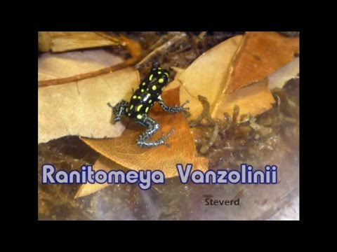 Poison Dart Frogs – Ranitomeya vanzolinii eating – HD