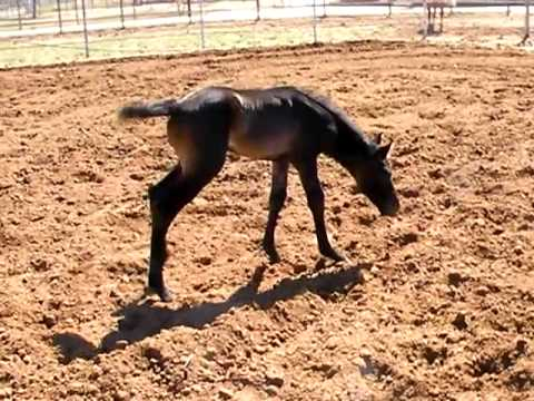 Azteca horse baby filly 4 days old pure Spanish Andalusian Dad Video
