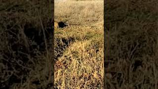 Αγριόγατα Κιλκίς Felis silvestris (wild cat in nature)