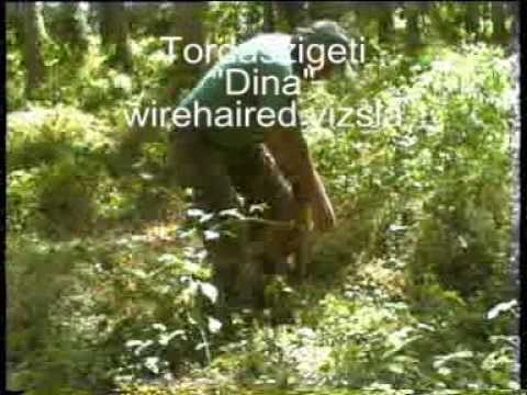 vizsla - Deer hunting - hound sy down