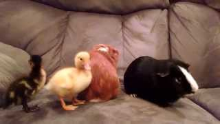 GUINEA PIGS MEET DUCKLINGS