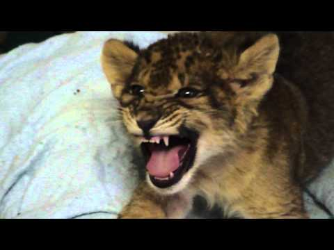 Lion Cub Gives Us His Best Roar video