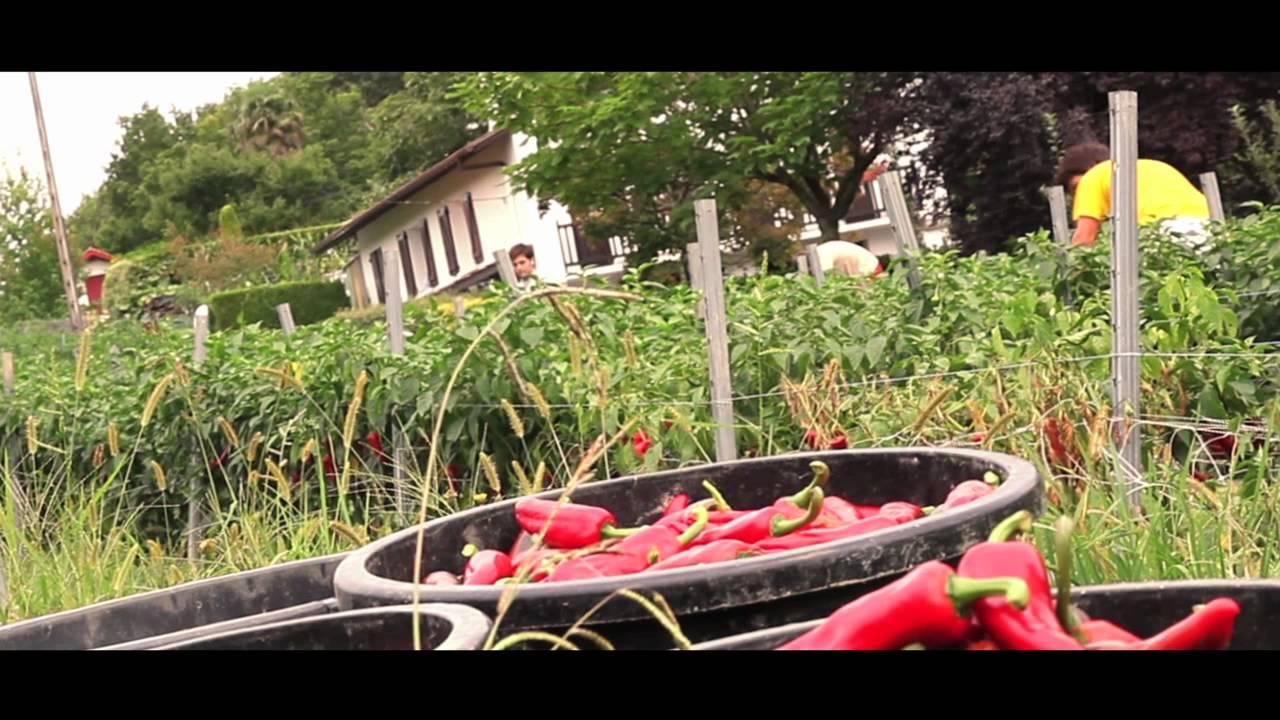 La production du piment d 39 espelette aop youtube - Graine de piment d espelette ...