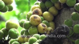 Figs or Anjeer grow on Ficus tree and are a member of Mulberry family