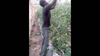 Tomato farming in Lagos