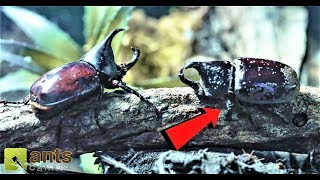 Two Rhino Beetles Going to War