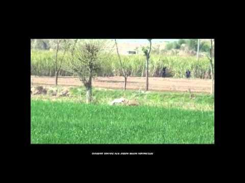 Pig Hunting Video in Pakistan Hog hunting boar hunting with Dogs.soor ka shikar, haveli fight