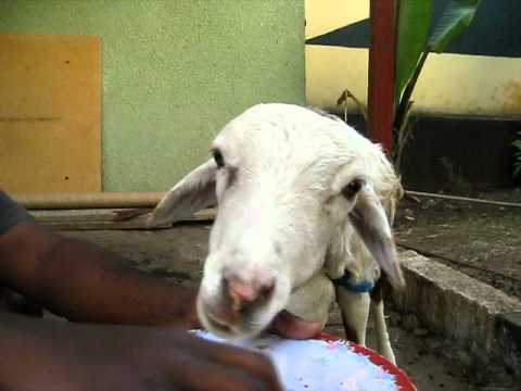 Ethiopian Comedy,  Satebela-bela!!!, Crazy Ass Sheep! video