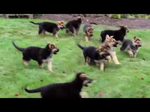 Bully kutta puppies for sale in chennai