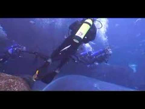 Georgia Aquarium - Scuba Diving With Whale Sharks Video