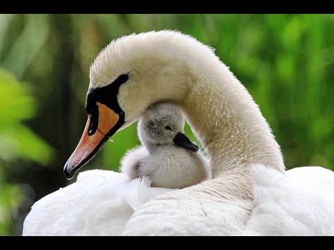 Любовь Уставших Лебедей
