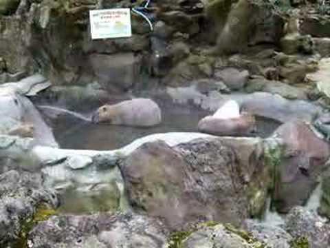カピバラこれから温泉入浴☆