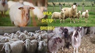 Milk sheep breeds