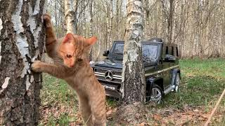 Ginger Cat is resting in a birch forest on jeep Mercedes-Benz G63 AMG for kids!