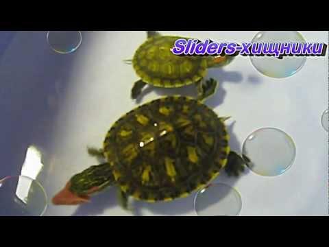 Sliders-хищники. Красноухие черепахи. - Кино-Мир