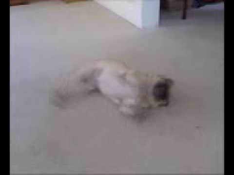 Bailey (Our pug) does the Homer Dance
