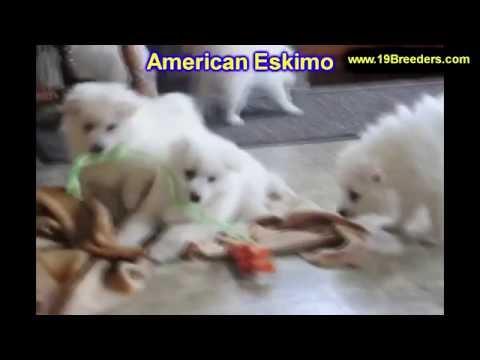 American Eskimo, Puppies , For, Sale, in Staten Island, New York, NY, Brooklyn, County, Borough