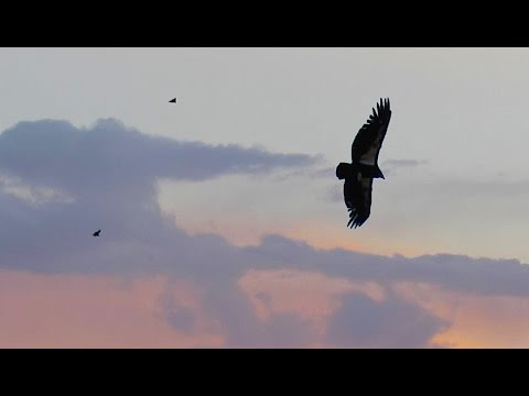 Condor Sunset - Grand Canyon National Park