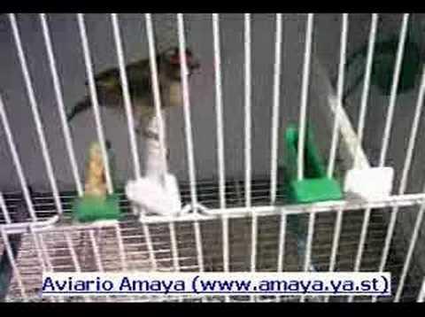 Aviarioamaya - Jilguero territorial