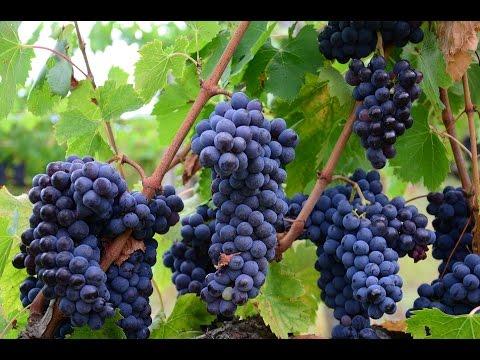 Wino Na Zdrowie, Odmładzanie #Ziołowa Apteka Odc.1 #Resveratrol Siła Czerwonego Wina #CzerwoneWino