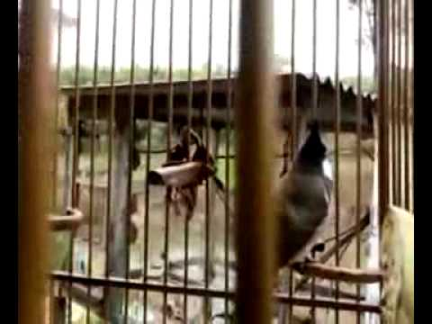Tieng Hot Chim Chao Mao   Dang Cap Nhat Nct 81634120383750781250 video