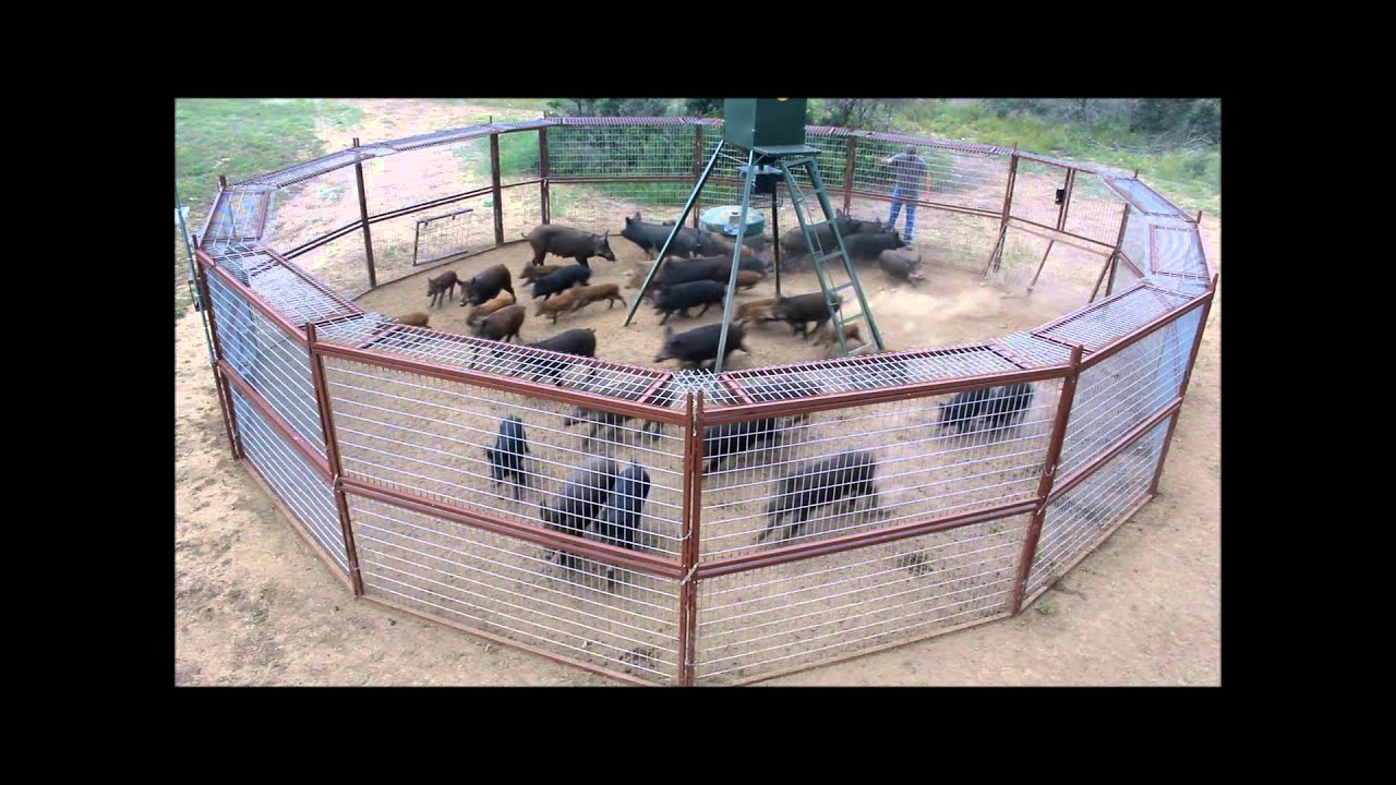 how to build a hog trap