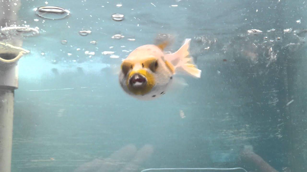 Dog face puffer fish youtube for Dog face puffer fish