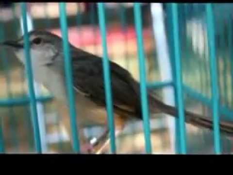 Burung ciblek gunung full ngeroll panjang Imoet CPT Indra W di omkicau com