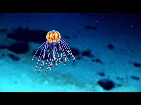 【画像】まるでオブジェのように美しすぎる新種のクラゲが発見されるwwwwwwww