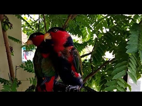 Suaranya Kenceng Bikin Pecah Telinga Kicau Burung Nuri Kepala Hitam