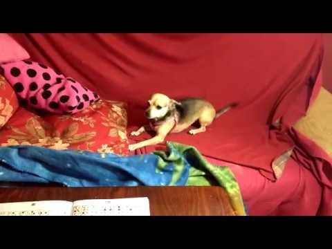 PITUSA- Perros de la Asociación Ladridos Vagabundos (Granada)