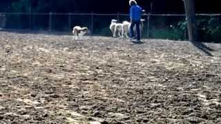 Australian Shepherd Herding Sheep part 2: