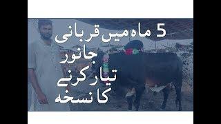 5 Months men Kaise Janwar Bhari Kerain - Bakra Eid in Pakistan 2018 k Liye Tips - Lahore Bakra Mandi