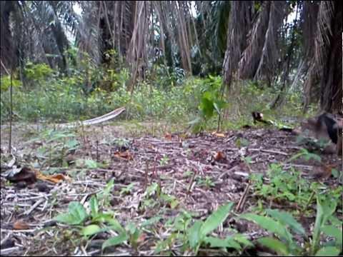 Ayam Hutan Pikat Betina 50 video