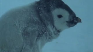 Heartbreaking! Death of an Orphan Baby Penguin - Life in the Freezer - BBC