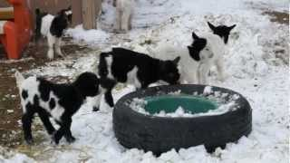 Baby Fainting Goats In The Snow!