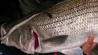 Striped Bass Surf Fishing with Live Eels - Channel Fishing