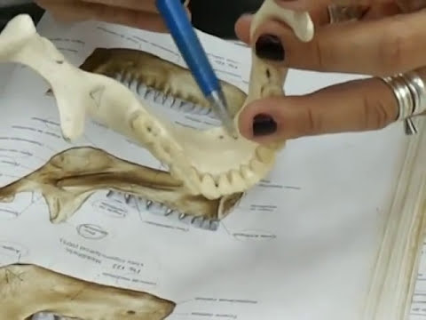 Anatomia da mandíbula!