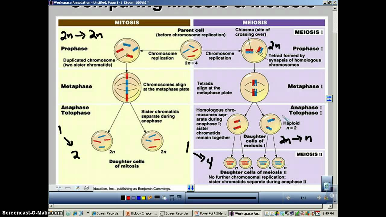 Mitosis And Meiosis Essay