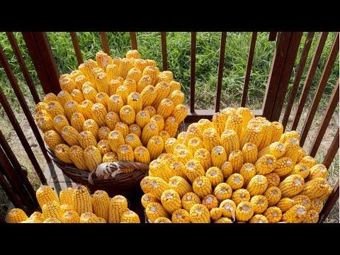 Clique e veja o vídeo Curso Produção de Milho em Pequenas Propriedades
