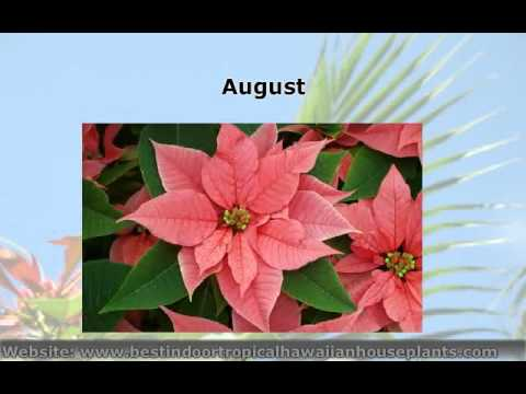 How To Trim Poinsettia Plant At Thedoglogs