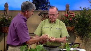Central Florida Gardening-Growing Potatoes