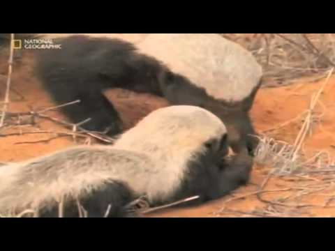Honey Badger Narrates: The Precious Nastyass Baby Honey Badger Kit