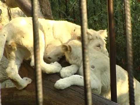 Ялтинский зоопарк Сказка: белые львы . Все О Домашних Животных.