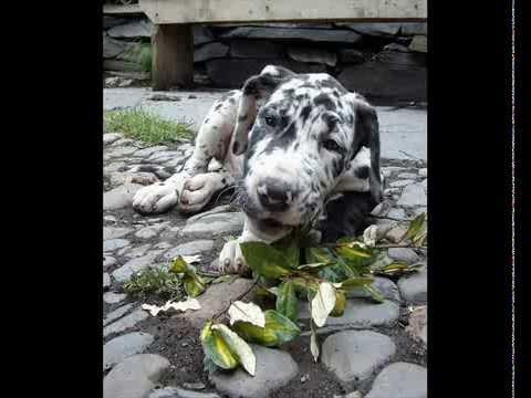 Great Dane Puppies 2009 photo slideshow